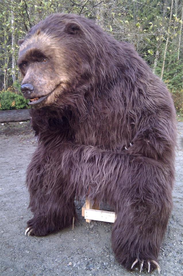 Kodi the Bear sitting And waiting for his shot